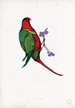 Duchess Lorikeet - artist signed print
